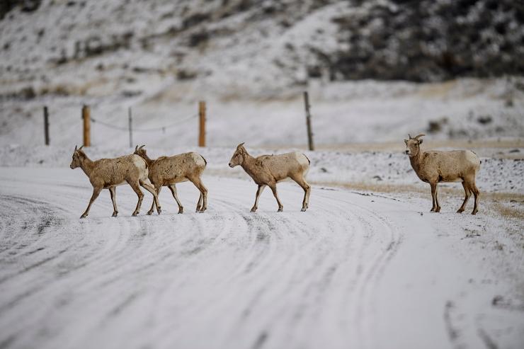 big horn sheep crossing road.jpg
