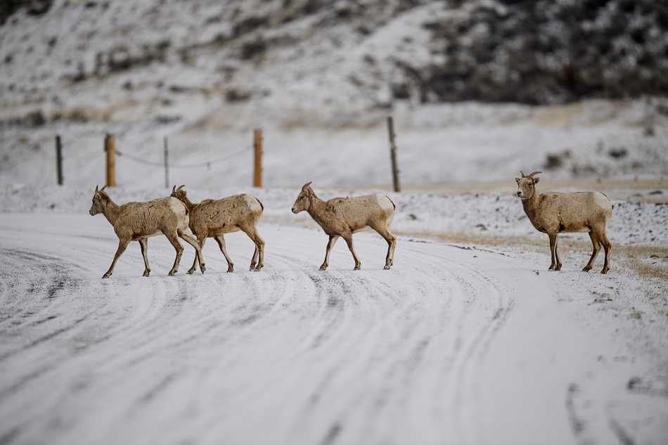 big horn sheep crossing road.jpg