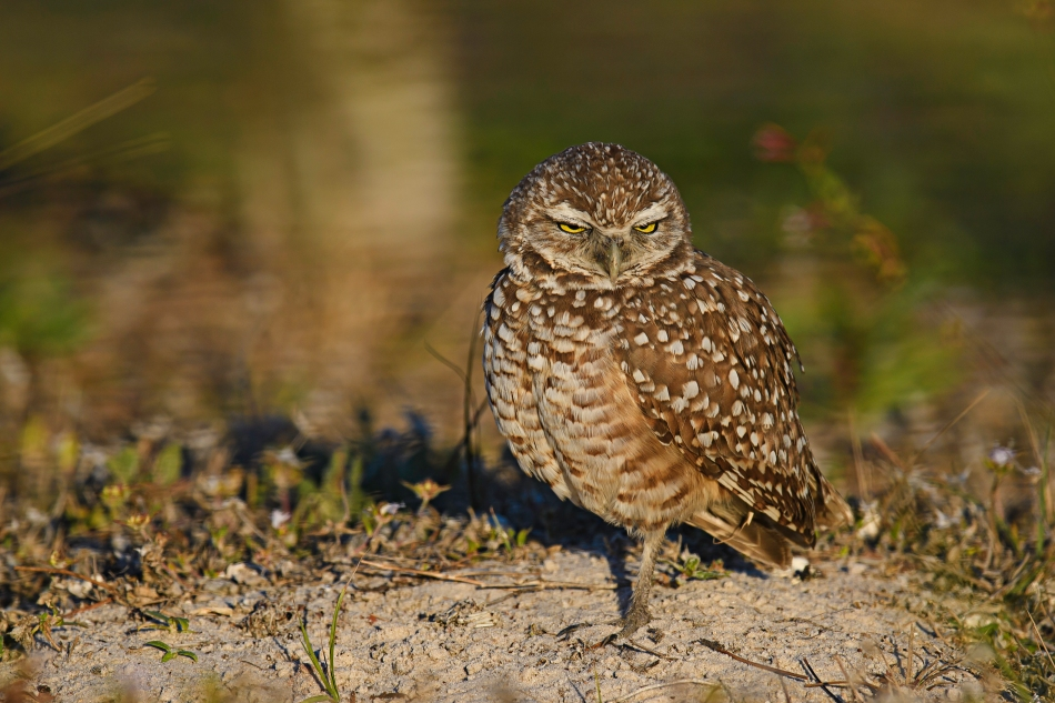 Burrowing Owl - the look.jpg