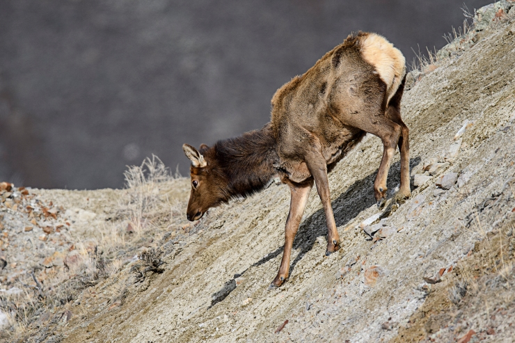 cow elk down hill.jpg