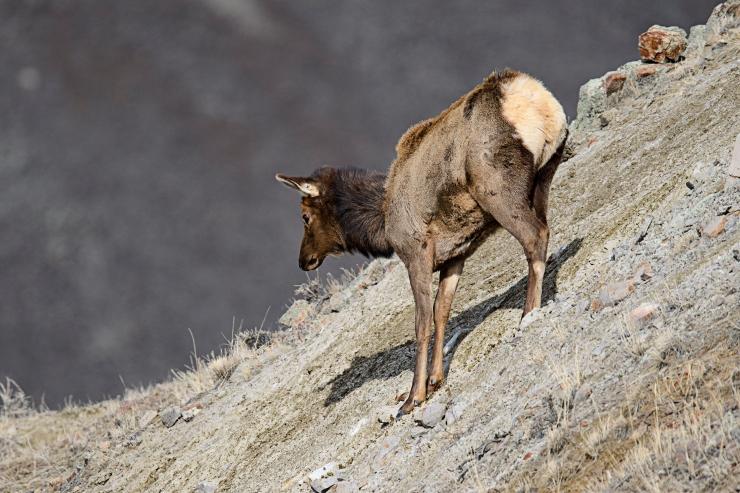 first steps cow elk.jpg
