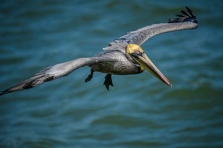 Florida brown pelican 1