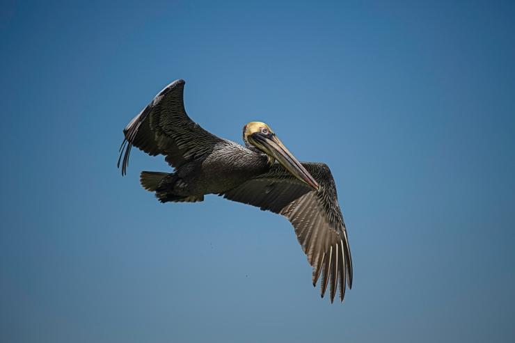 Florida brown pelican 2