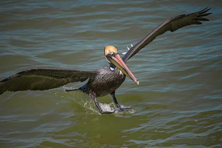 Florida brown pelican splashing down