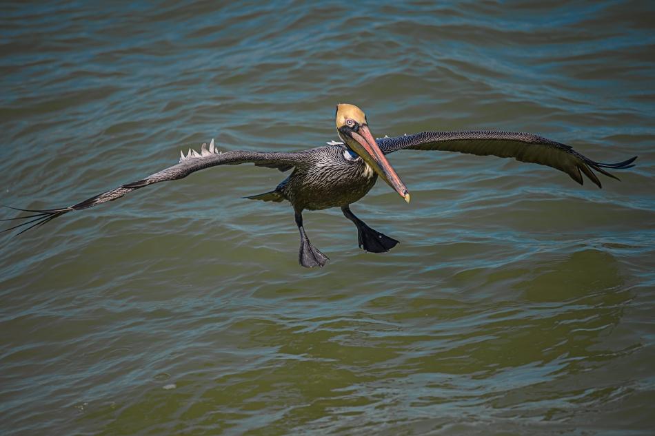 landing pelican 1