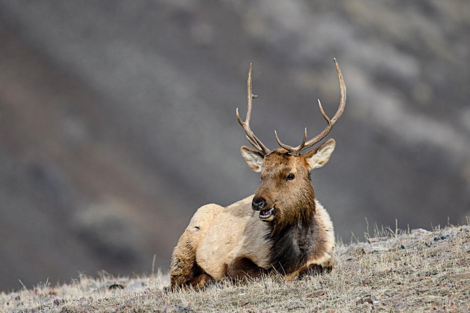 smiling-elk