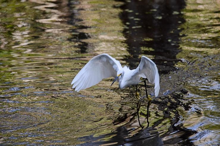 snowy egret at Corkscrew Swamp