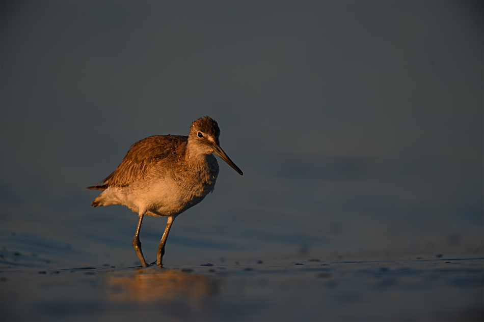 WN-Sunrise Sanibel Island Willet-Carol Smith.jpg