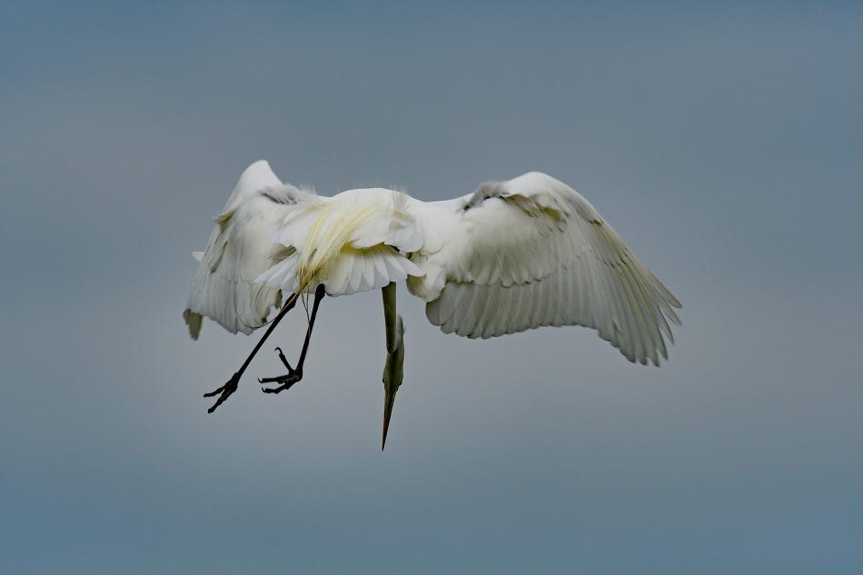 Egret nosedive 1