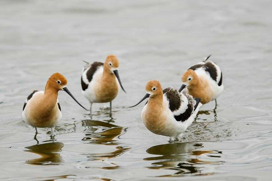 group of avocets.jpg