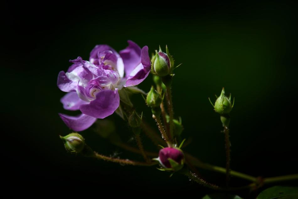 Old Sunset Rose Midday.jpg