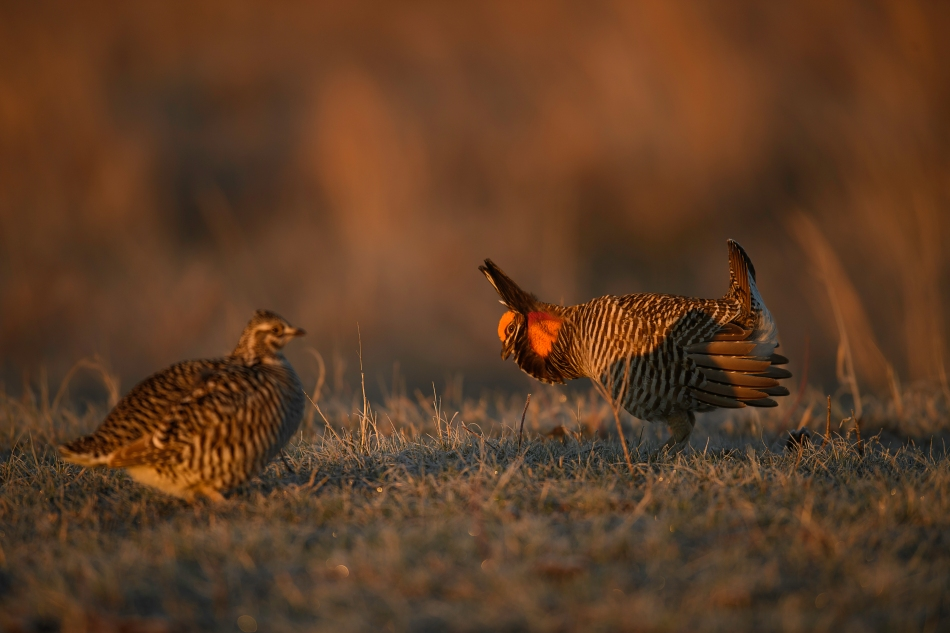 prairie chicken pair 1