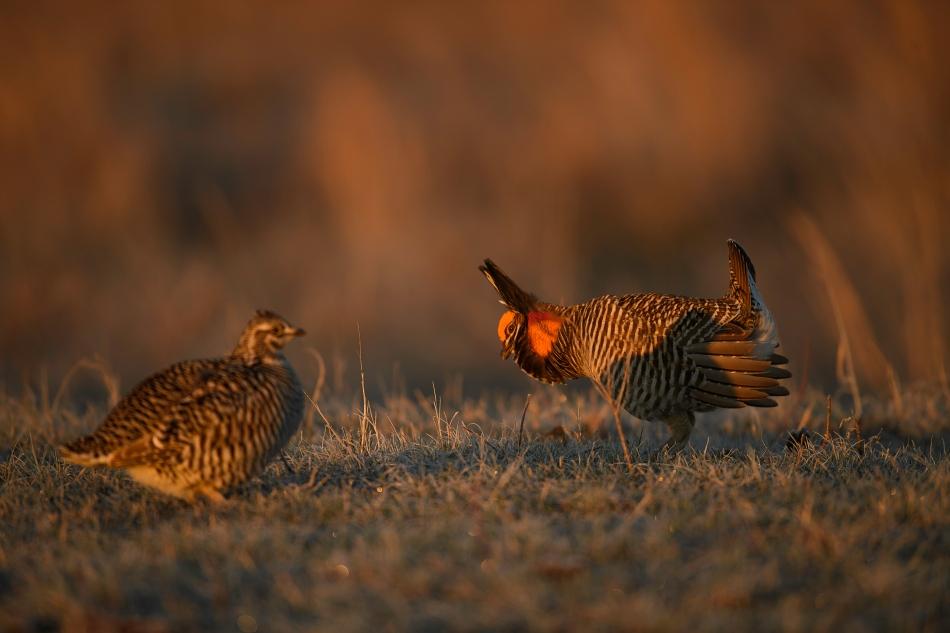 prairie chicken pair 1