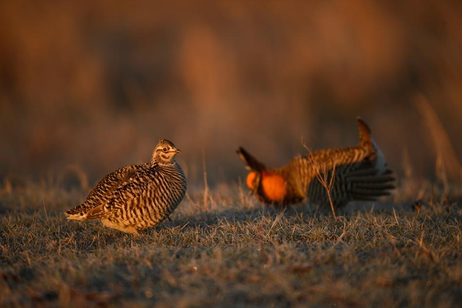 Prairie Chicken pair 2