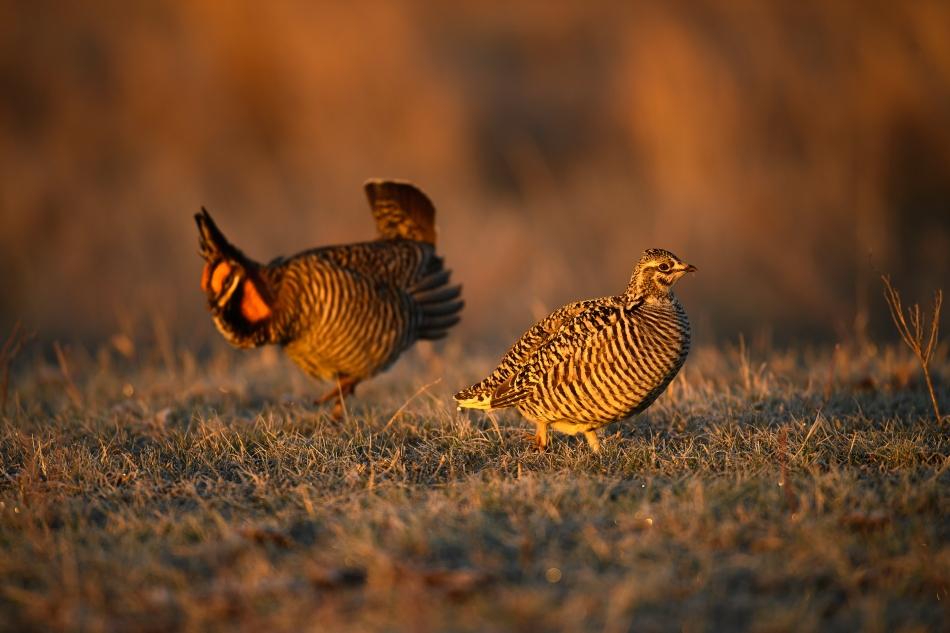 prairie chicken pair 3