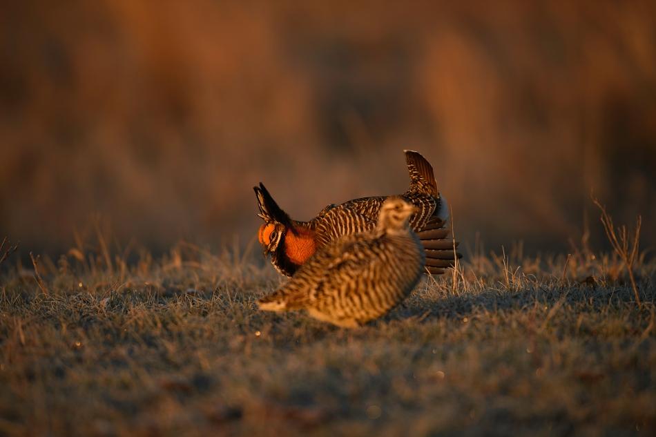 prairie chicken pair 4.jpg