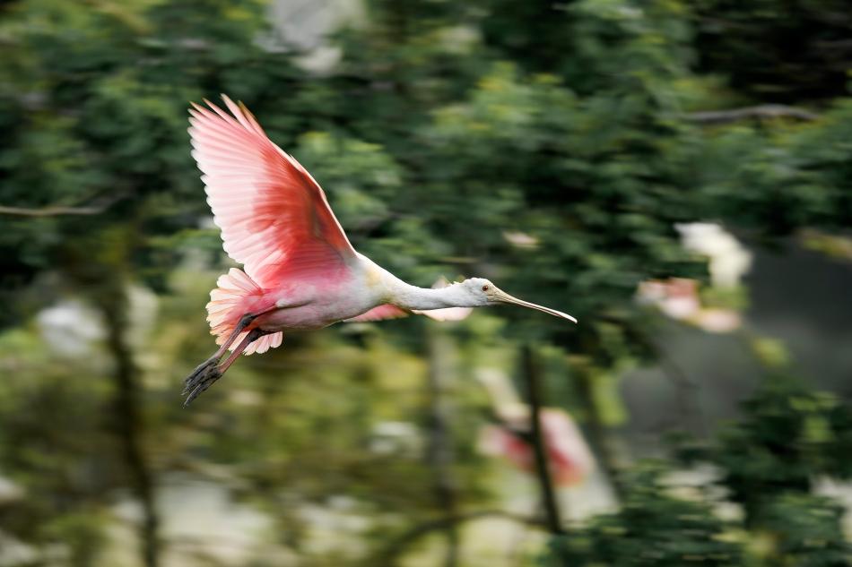 Roseate Spoonbill flying.jpg