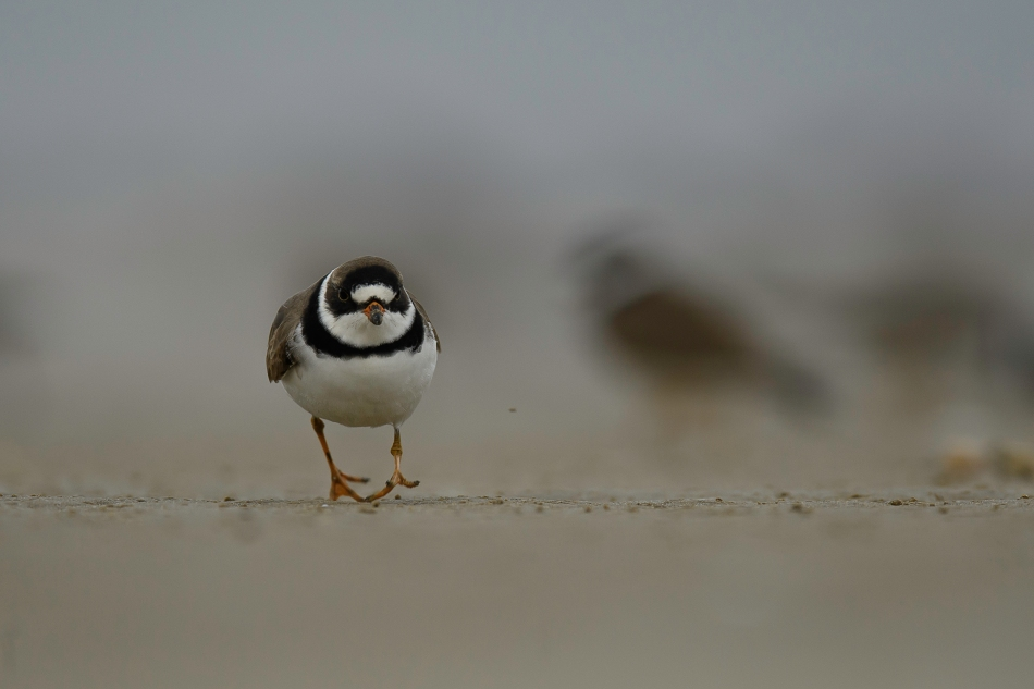 Semipalmated plover 2 webfoot.jpg