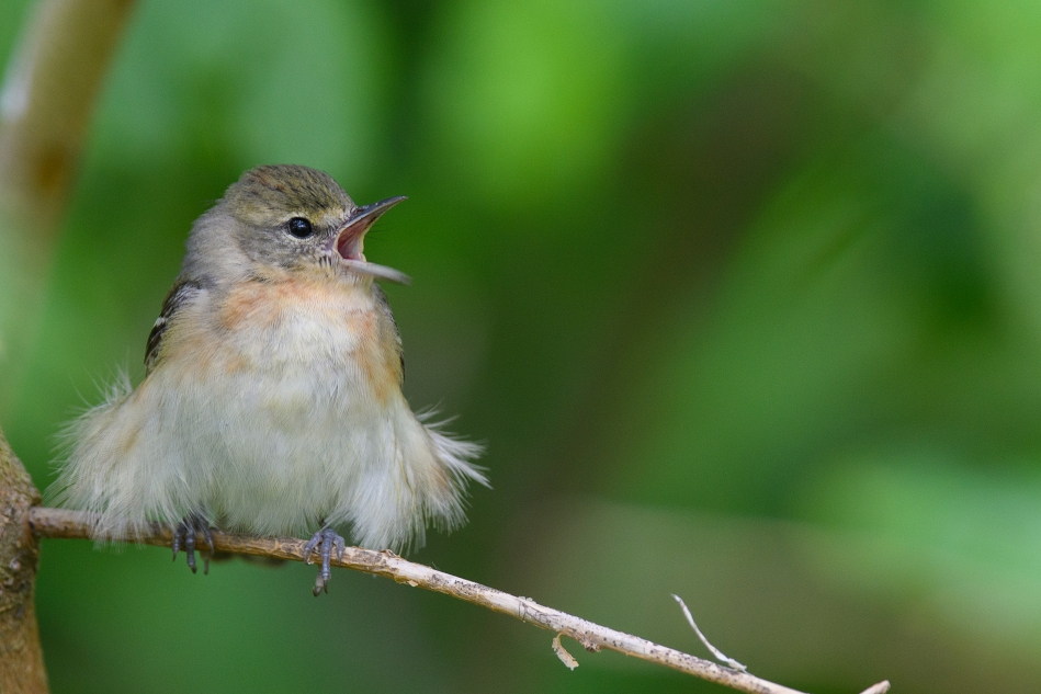 Bay Breasted Warbler Female.jpg