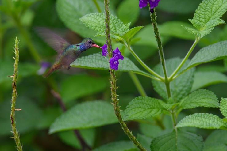Blue Throated Goldentail.jpg