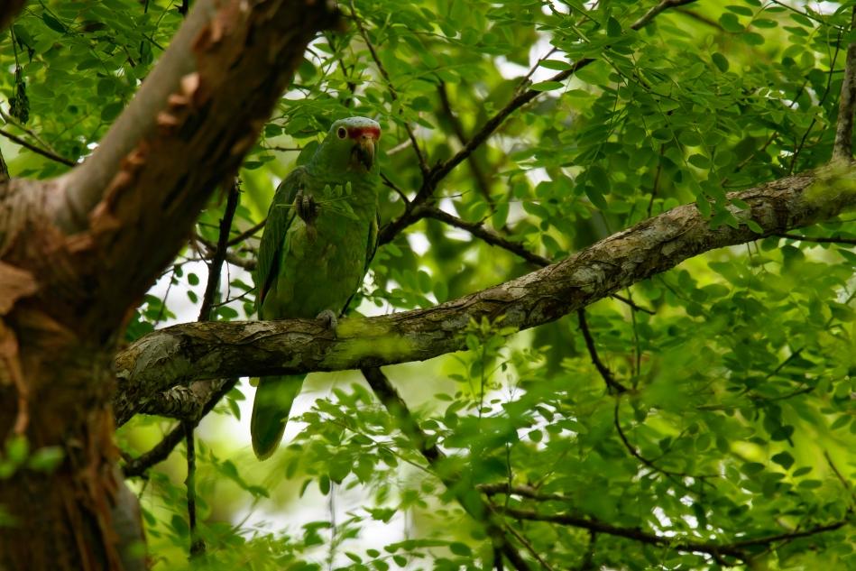 Bobo in Costa Rica.jpg