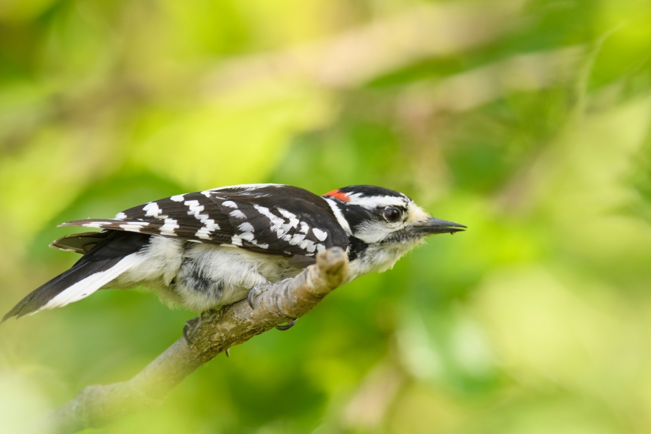 Downy Woodpecker.jpg