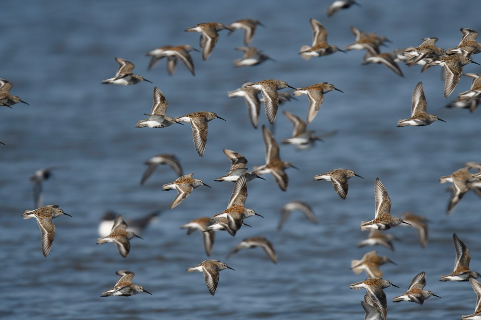 Dunlin Flock right.jpg