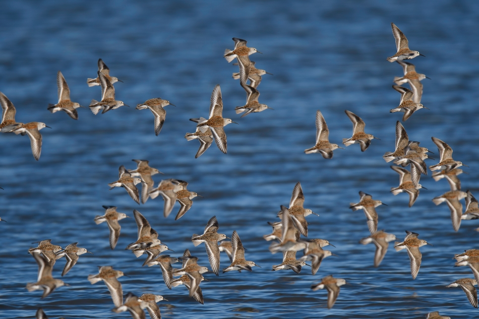 Dunlins in flight.jpg