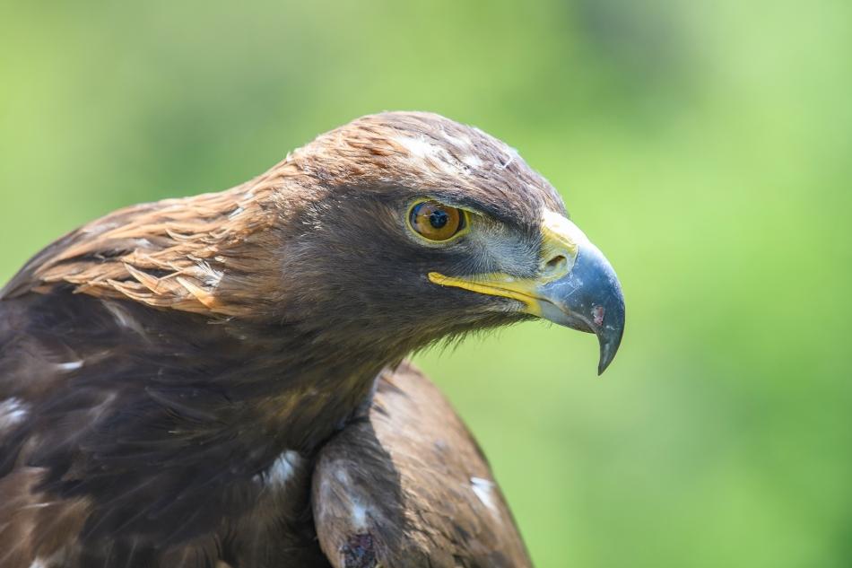 Eagle alone