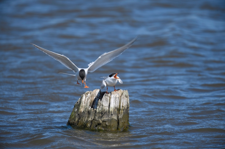Forster's Terns two up 1