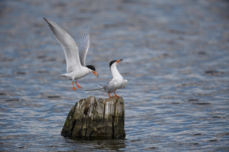 Forster's Terns two up 2