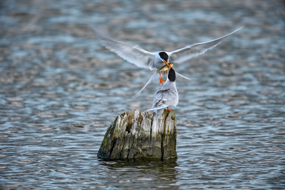 Forster's Terns with fish
