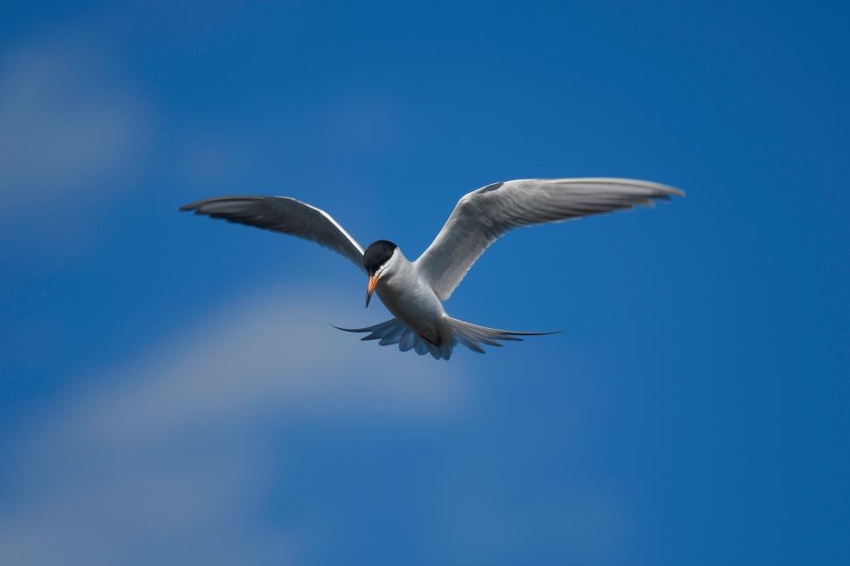 Good Tern 1