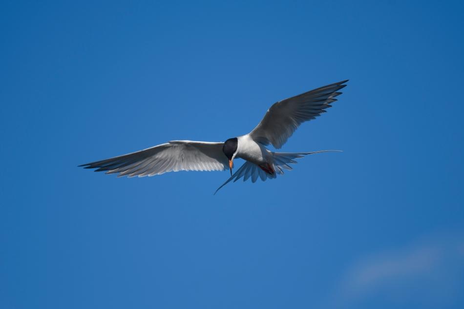 Good Tern 2.jpg