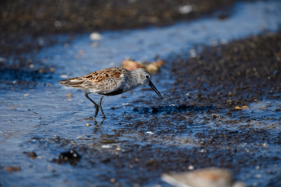 Lone Dunlin with crab egg
