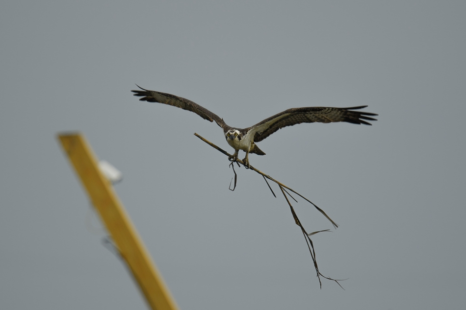 osprey with stick further out.jpg
