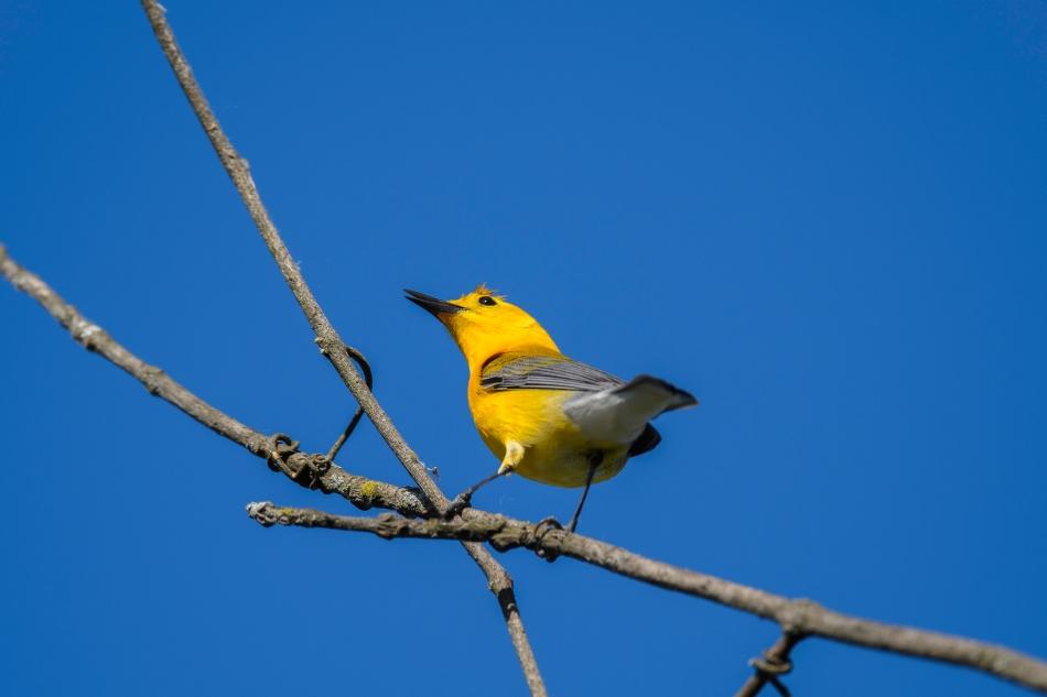 Prothonatory Warbler 2.jpg
