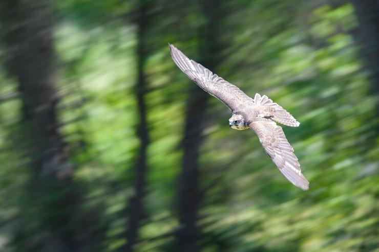 Saker Falcon CFBP.jpg