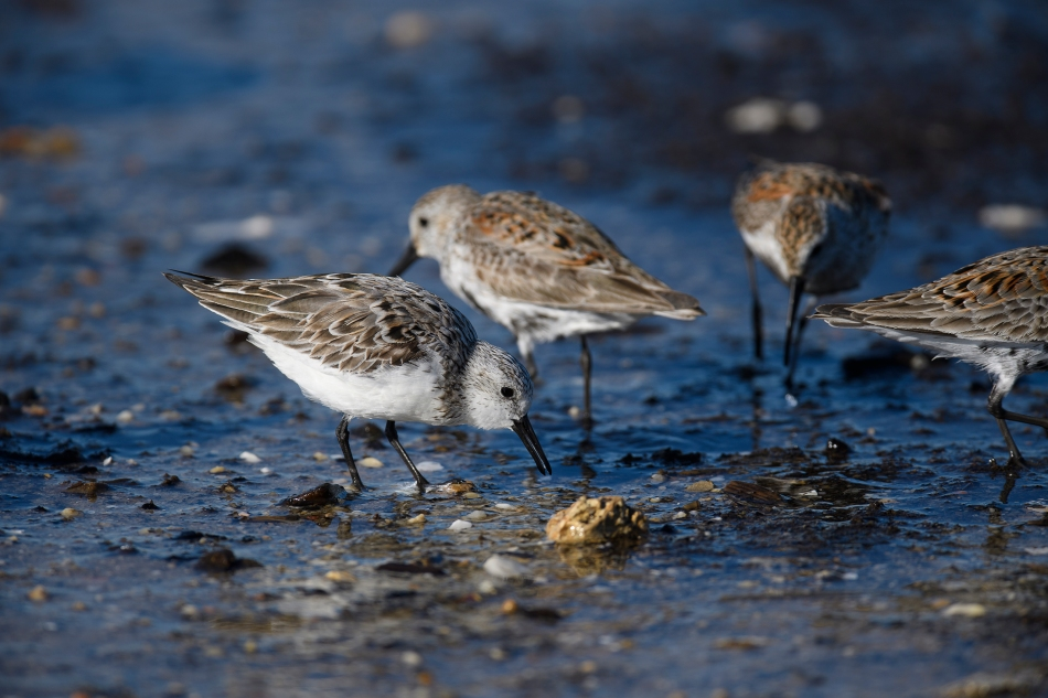 Sanderling with crab egg