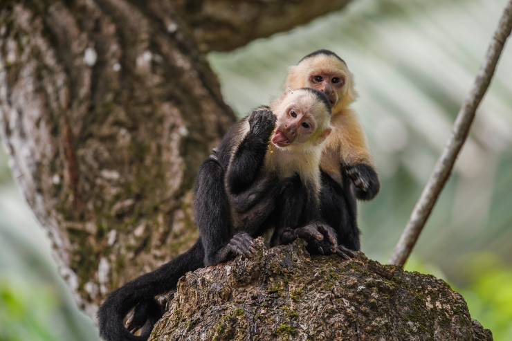 White faced capuchin honey.jpg