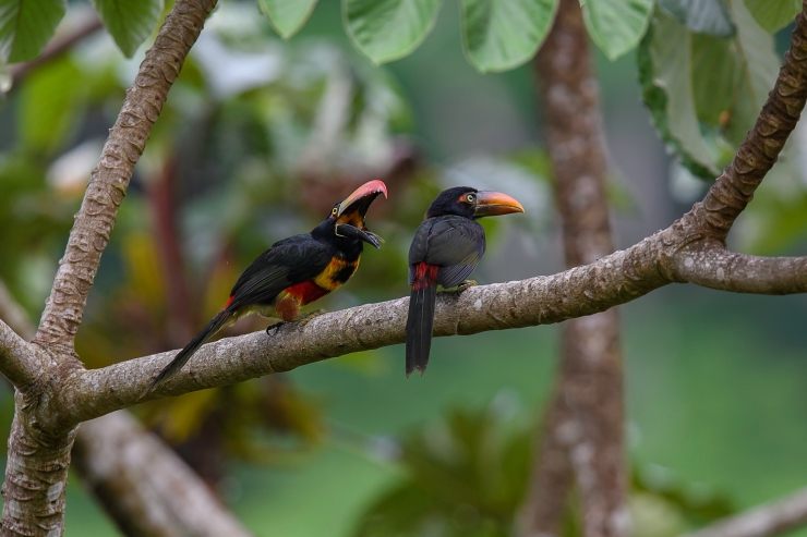 Aracari feeding 1