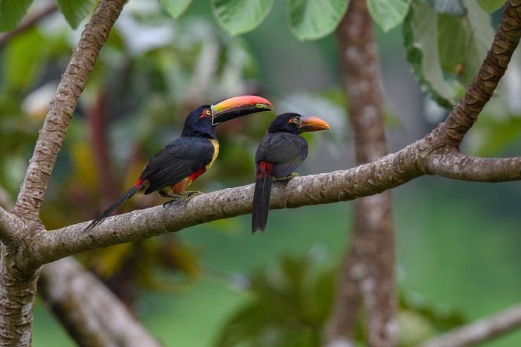 Aracari feeding 2
