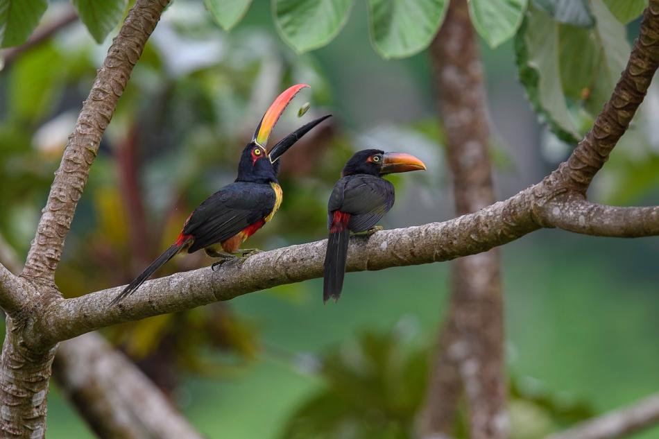 Aracari feeding 3