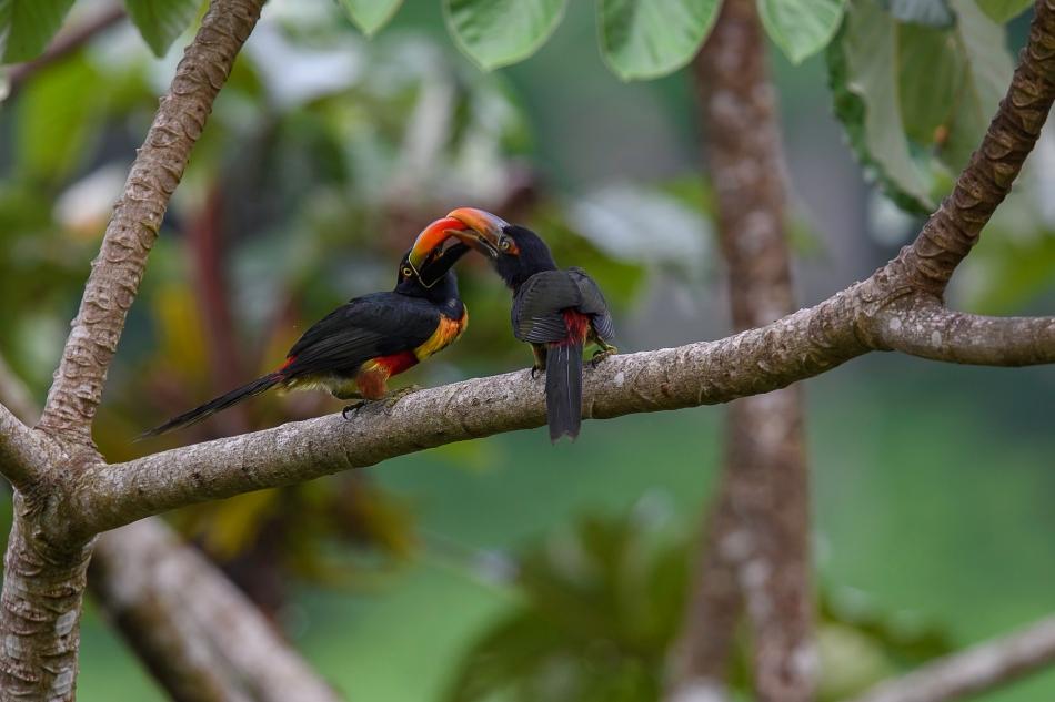 Aracari feeding 5