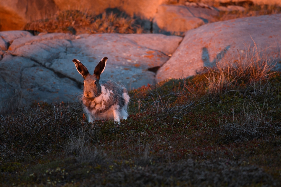 Arctic Hare At Sunset 2