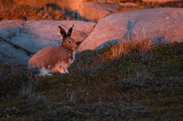 Arctic Hare At Sunset