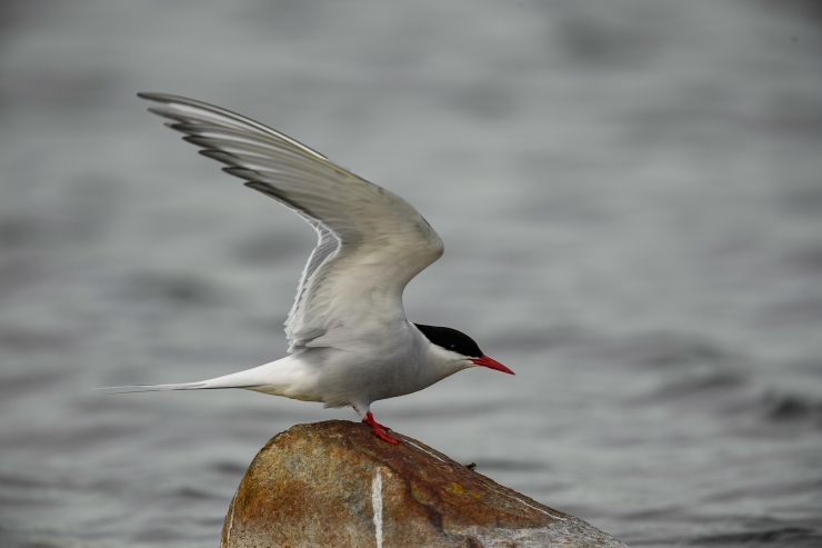 Artic Tern wings up on rock.jpg
