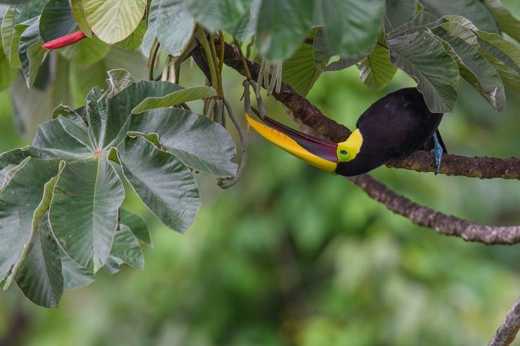 Black Mandibled Toucan.jpg