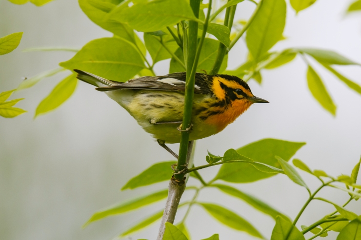Blackburnian warbler 2.jpg