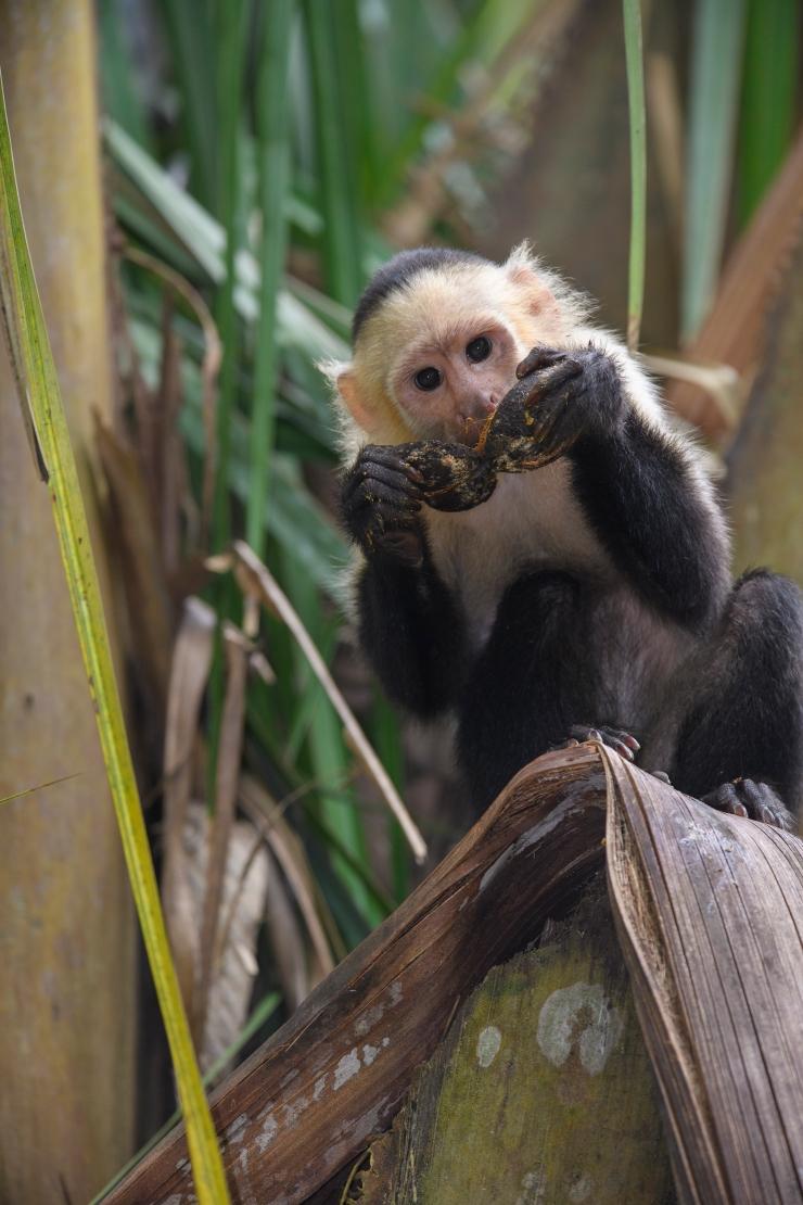 Capuchin Forbidden fruit
